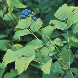 Caulophyllum